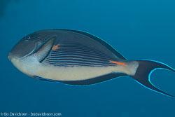 BD-131209-St-Johns-0996-Acanthurus-sohal-(Forsskål.-1775)-[Sohal-surgeonfish].jpg